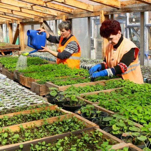 В теплицах жилкомхоза выращивают 60 тысяч цветов для украшения города